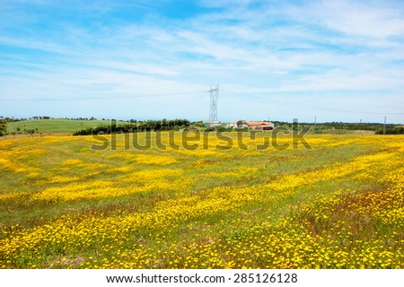 Field covered with blooming wild yellow daisy flowers. Farm houses and trees at background. South of Portugal. - stock photo