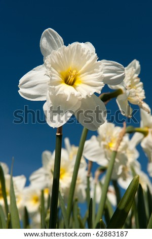 field full with paper white trumpet daffodils in spring - stock photo