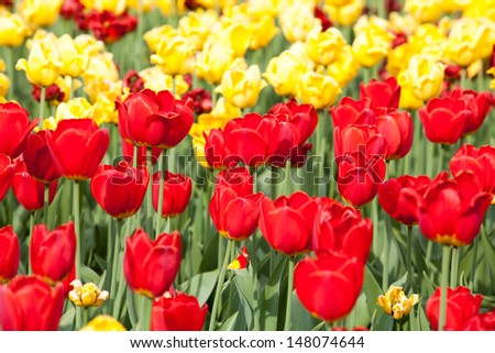 field of red and white tulips - stock photo