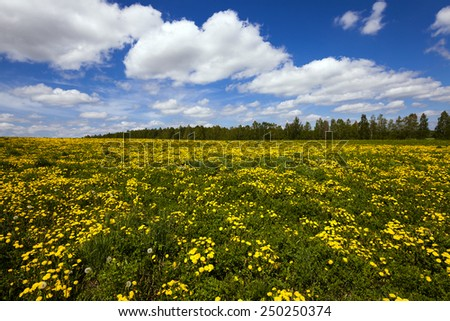 field on which yellow dandelions grow. spring - stock photo