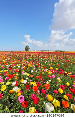 Fields of colorful blooming buttercups and picturesque a huge cloud over the field. Spring in Israel - stock photo