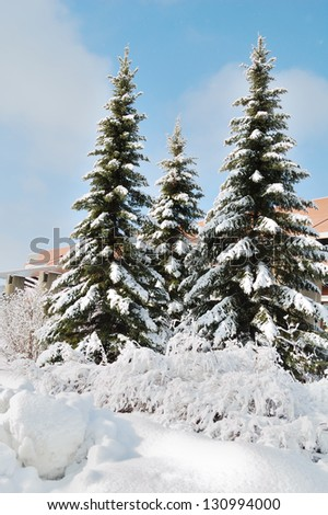 fir tree in snow - stock photo