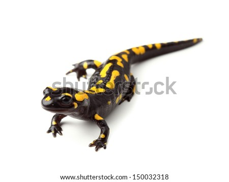 Fire salamander (Salamandra salamandra) on white - stock photo