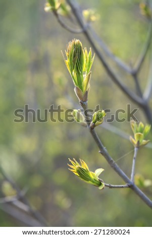 first spring buds on the branch-spring - stock photo