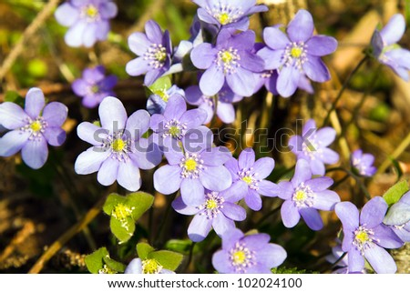 first spring flowers. top view - stock photo