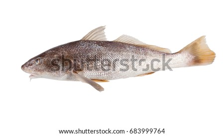 Fish  Atlantic Croaker - Micropogonias undulatus  on the hook. Isolated on white background