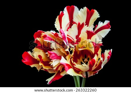 Flaming Parrot  tulips on black, floral poster - stock photo