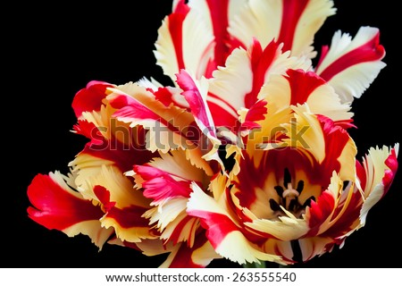 Flaming Parrot tulips poster  - stock photo