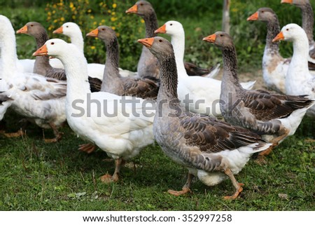 Flock of geese on green meadow in natural environment - stock photo