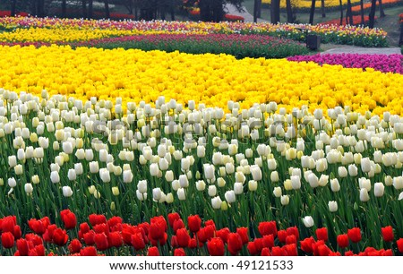Flower bed of beautiful  tulips, during the season of spring