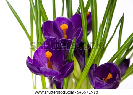 Flower crocus purple isolated
