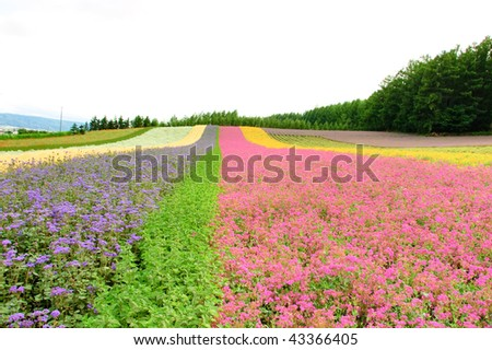 flower field in Hokkaido in Japan - stock photo