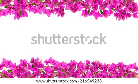 16:9 Flower frame, Pink blooming bougainvilleas isolate on white background - stock photo