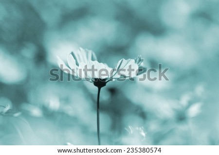 flower in blue tone color ,Beautiful closeup of blurred sunny blue daisy flower field on blurry bokeh background. Soft blue color tone used.