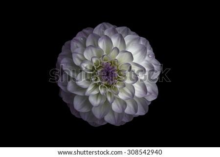 Flower, isolated black background, dahlia, white,  lilac, purple,                                - stock photo