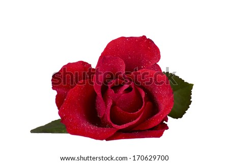 Flower of a red rose on a white background