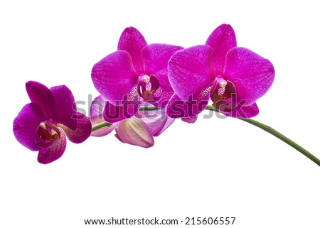 Flower orchids on white background