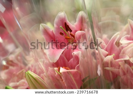 flower shop in market , pink lily with plastic cover background in flower shop , export business background, - stock photo
