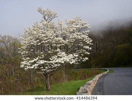 flowering dogwood tree in the fog in spring in shenandoah national park, virginia        - stock photo