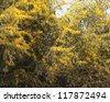 Flowering of a mimosa. Silver Wattle tree - stock photo