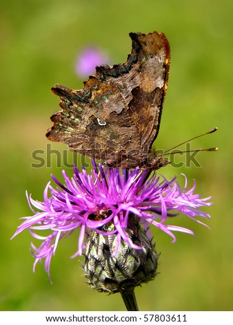 Flowering thistle with Comma butterfly Polygonia c-album - stock photo