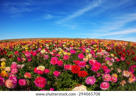 Flowers are grown for export in the Nordic countries. Spring flowering garden large buttercups - ranunculus - stock photo
