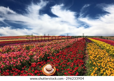 Flowers grow bright multi-colored strips and are ready to harvesting. Spring storm over field with buttercups /ranunculus/ - stock photo