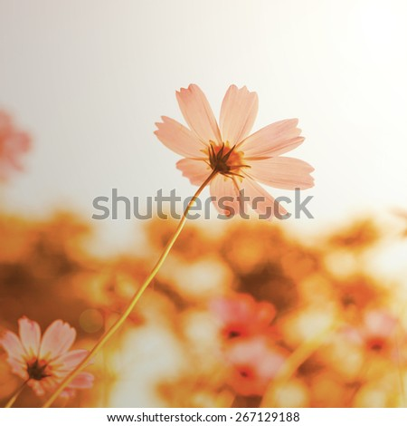 flowers in blooming with sunset with a retro vintage  - stock photo