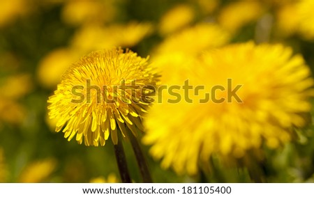 flowers of a dandelion. - stock photo