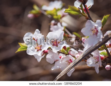 Flowers of the cherry blossoms on a spring day. Toned image. Selective focus with shallow depth of field. - stock photo