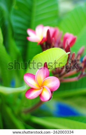 flowers pink isolated tropical nature beauty blossom summer green garden wall background - stock photo