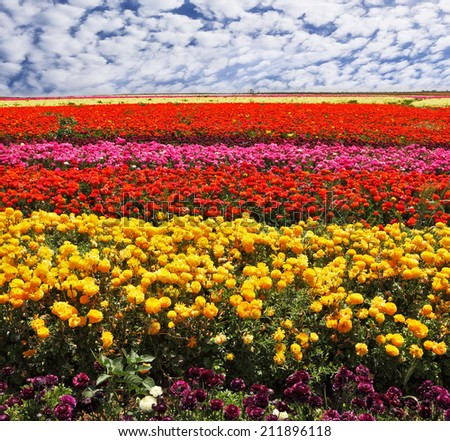 "Flowers planted with broad bands of bright colors - red, yellow, pink and purple. Field of multi-colored decorative buttercups ""Ranunculus Bloomingdale"""