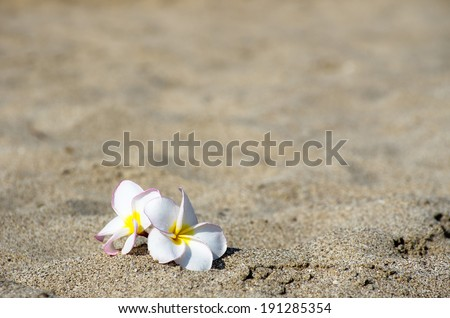 flowers Plumeria alba on the sandy - stock photo