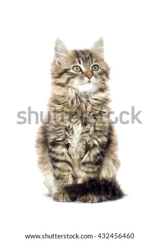 fluffy tabby kitten looking
