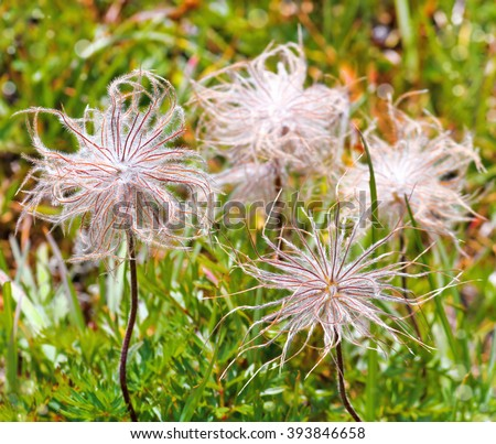 Fluffy wild flowers in the grass (selective focus). - stock photo
