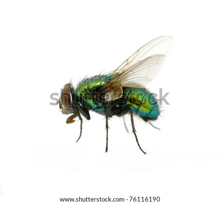 fly isolated on white - stock photo