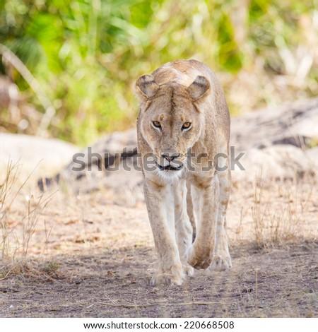Focused lion walking towards the camera - stock photo