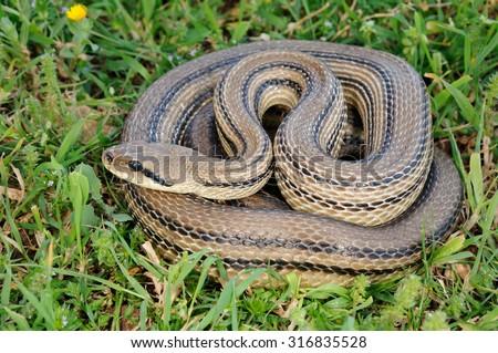 four-lined snake (Elaphe quatuorlineata) - stock photo