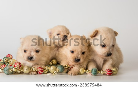 Four puppy of breed a Pomeranian spitz-dog in studio on a neutral background - stock photo