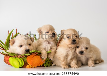 Four puppy of breed a Pomeranian spitz-dog in studio on a neutral background