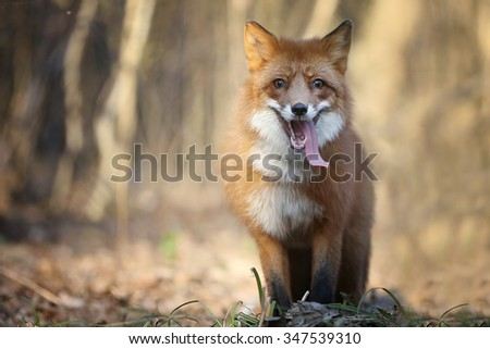 Smiling Fox. | Animals  | Pinterest | Foxes
