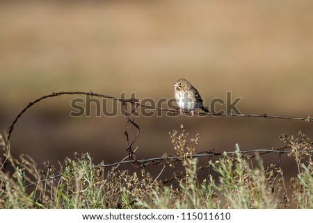 """Fresh Adult"" Vesper Sparrow on a barbed-wire fence in southern Colorado - stock photo"
