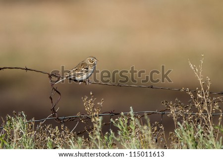 """Fresh Adult"" Vesper Sparrow on a barbed-wire fence in southern Colorado"