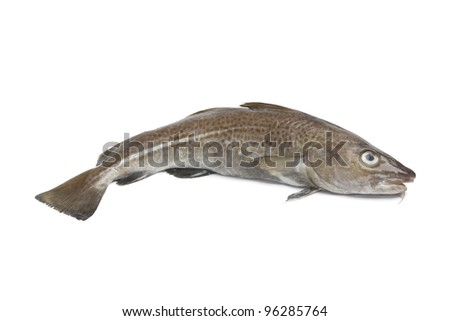 Fresh atlantic cod fish on white background