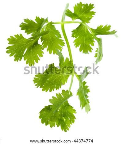 Fresh cilantro coriander leaves close up isolated on white background - stock photo