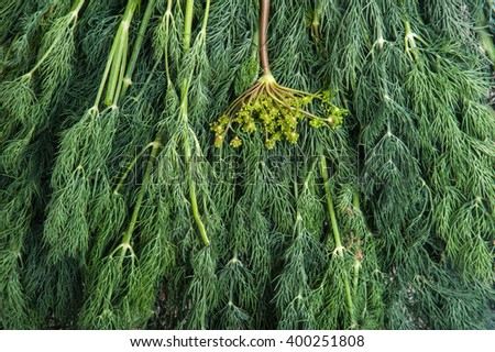 fresh dill - stock photo