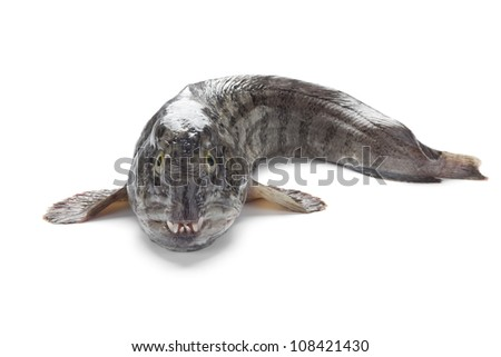 Fresh raw Atlantic wolffish on white background - stock photo