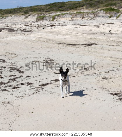 Friendly small  black and white dog  exercising on the seaweed covered sandy shore at Hutt's beach near Bunbury western Australia on a sunny spring afternoon. - stock photo