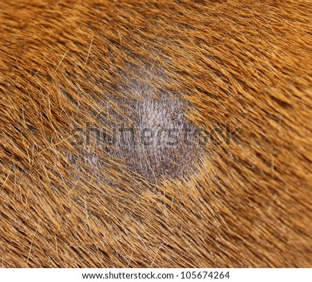 fungus infection combined with staphylococcus on dog skin - stock photo