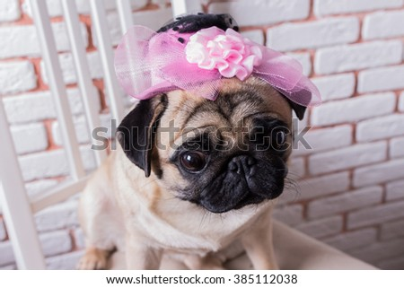 Funny and cute dog pug sits on a chair in a pink hat in front of a white brick wall. Selective focus. Toned image. - stock photo